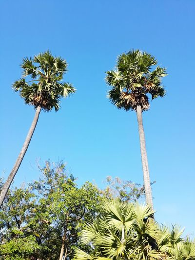Two tall palm