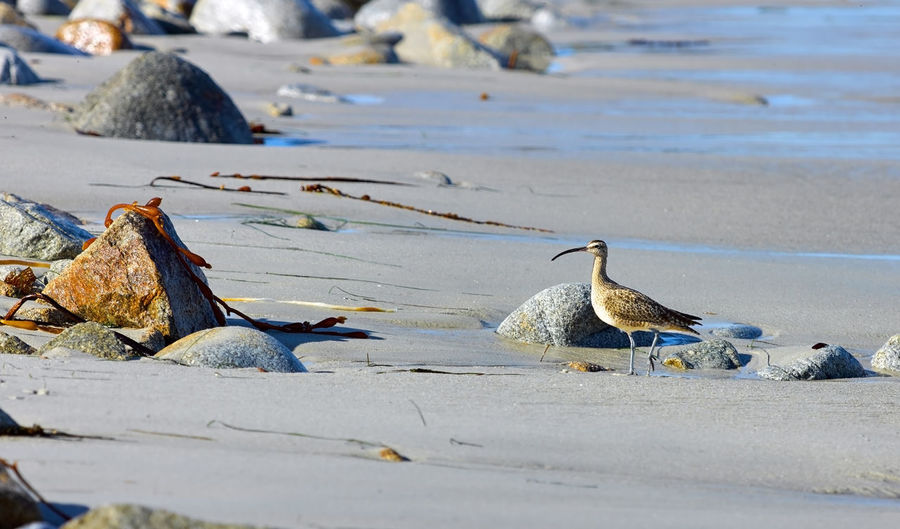 Sea bird standing on a sandy beach near monterey bay, california.