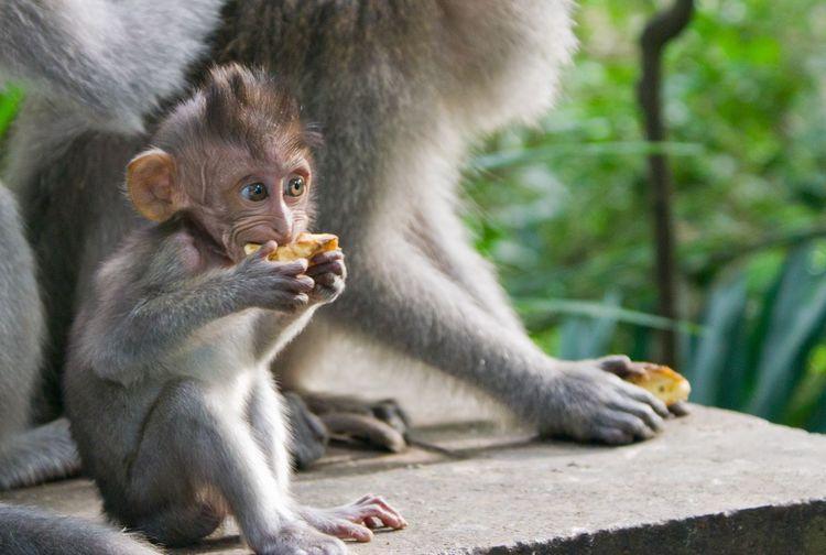 Monkey eating while sitting on rock