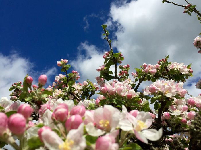 Apple Blossom Beauty In Nature Blooming Blossom Close-up Cloud - Sky Day Flower Flower Head Fragility Freshness Growth Luscombe Nature No People Outdoors Petal Plant Plum Blossom Sky Spring Tree