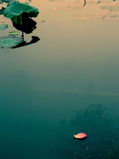 Beauty In Nature Blue Fall Beauty Fallen Petals Goodbye Goodbye Summer Lotus Lotus Pond Outdoors Petal Summer Zen Oriental Oriental Beauty Apart Seperated A Moment Of Zen... Storytelling Pivotal Ideas Long Goodbye