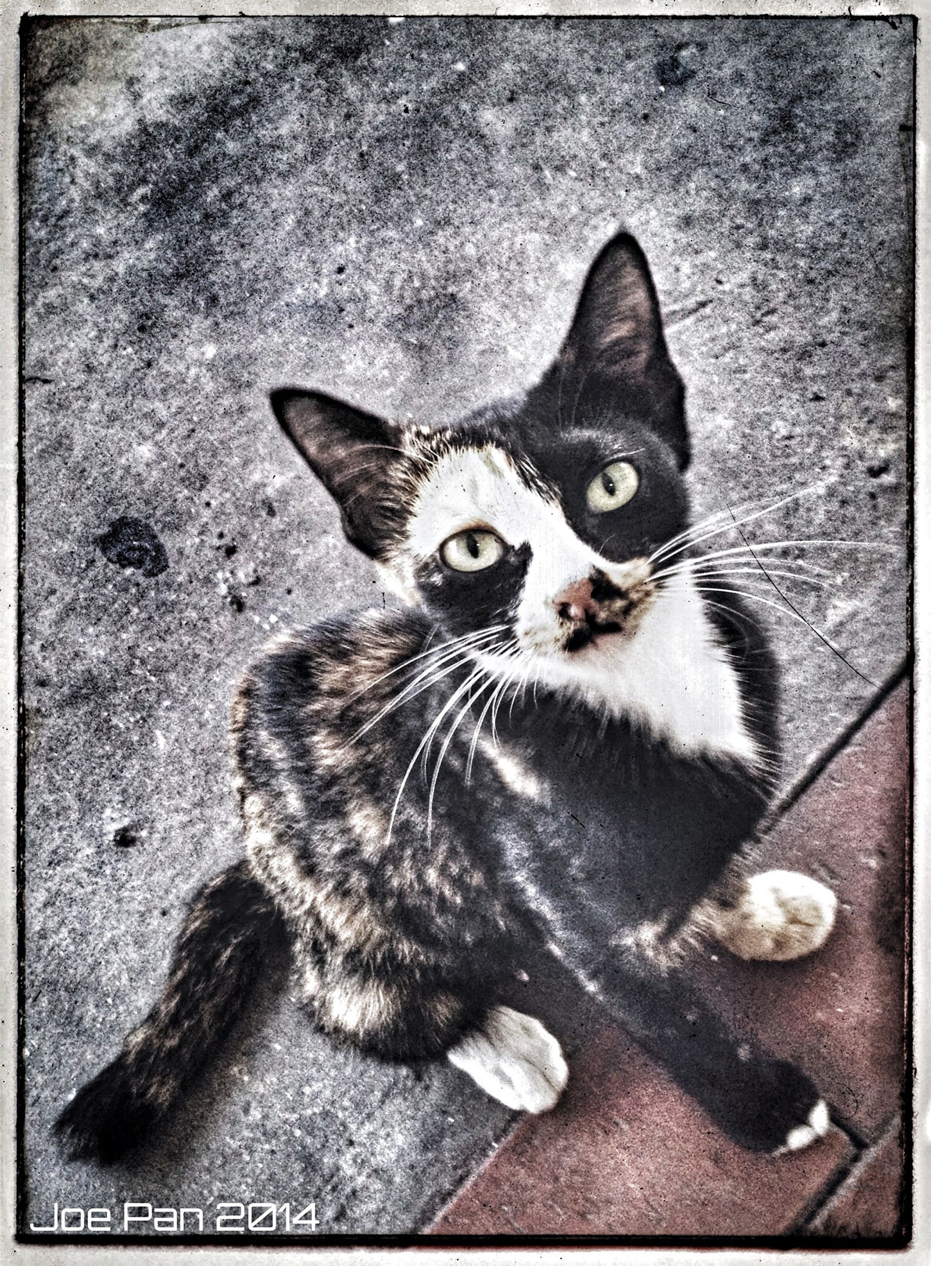 domestic cat, cat, pets, animal themes, one animal, feline, domestic animals, whisker, mammal, portrait, looking at camera, transfer print, auto post production filter, alertness, sitting, close-up, staring, high angle view, relaxation, zoology