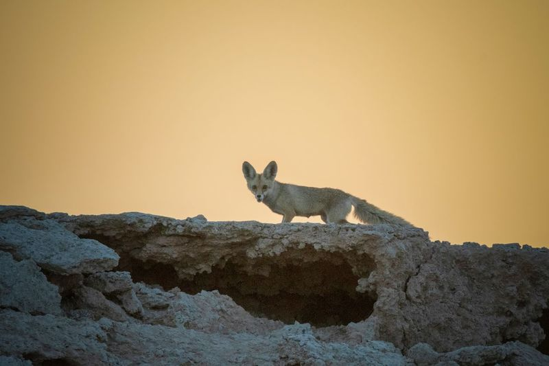 Desert Fox Fox Wildlife Photography Wildlife & Nature Wildlife Qatar Animal Animal Themes Mammal One Animal Rock Rock - Object Solid Animal Wildlife Animals In The Wild Vertebrate No People Side View Nature Full Length