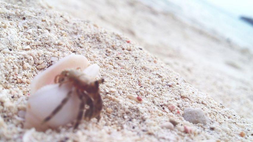survival of the fittest. Crabspider Seacreature Crawlinganimal Sinkissed Oceanlife Exploringthesea Beautifulcreature ExploreTheNature NATUREISLOVE Gumasa Beach, Glan