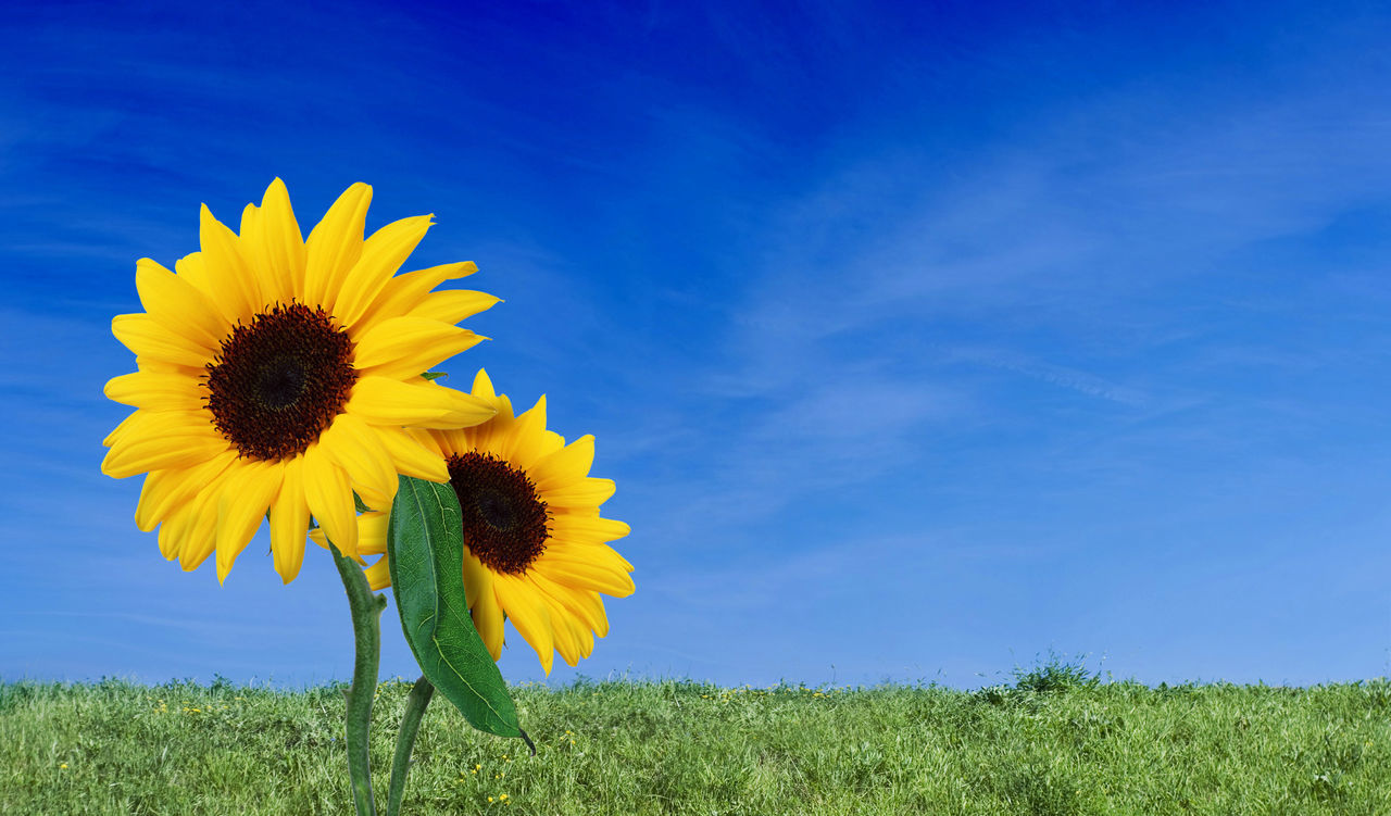 Close-Up Of Sunflower Blooming On Field Against Blue Sky