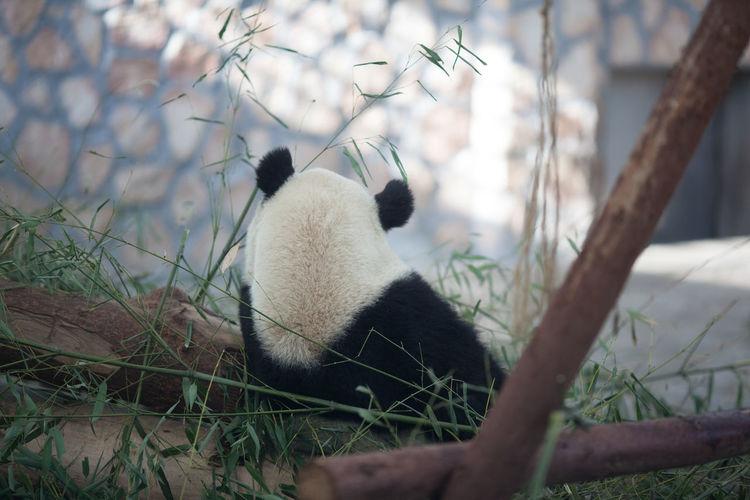 Panda relaxing at zoo