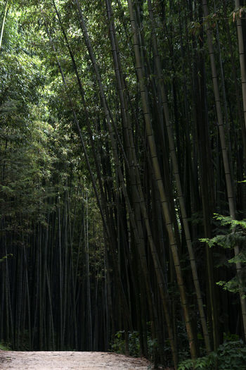 Juknokwon, the famous bamboo park in Damyang, Jeonnam, South Korea Damyang Juknokwon Bamboo - Plant Bamboo Forest Bamboo Grove Bamboo Park Day Forest Growth In The Forest Nature No People Outdoors Tranquility Tree