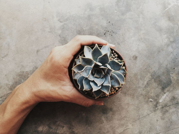 Close-Up Of Hand Holding Succulent Plant
