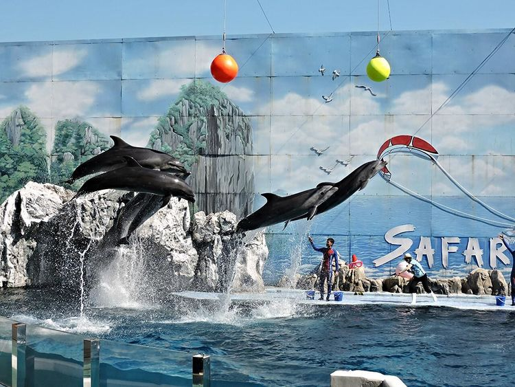 Stuntshow Dolphins Midair Safaripark Safariworld Thailand Jumpshot Jump Getting Higher Group Friendship Trained Sealife Watersplash Flying High Flying Spectacular Amazing Timed Perfect Moment Perfect Timing Entertainment Thailand Trip Gravity