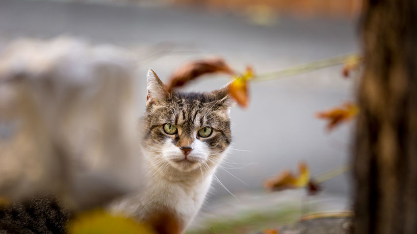 A housecat looking through the autumn leaves in Bamberg Animal Autumn Bamberg  Bavaria Bayern Cat Fall Feline Germany Housecat Leaves Look Looking At Camera Mammal Nature Oberfranken Pets Wildlife