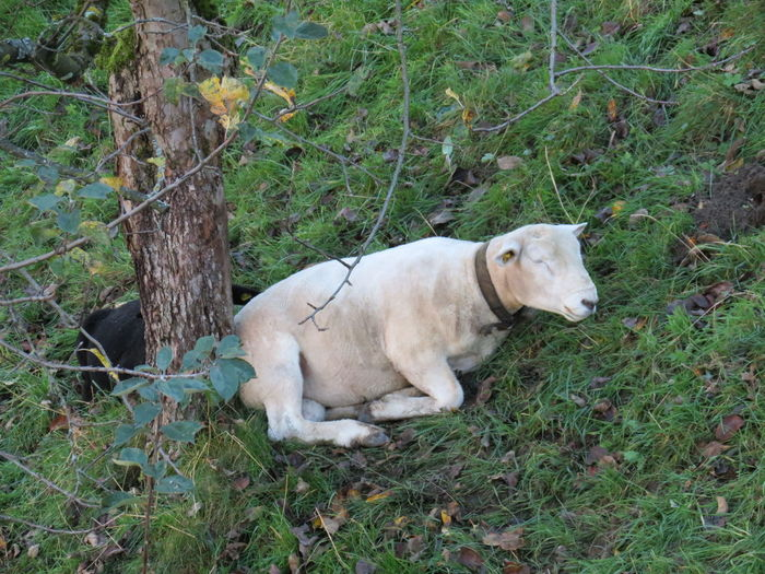 Emmental🇨🇭 His Place Photography October 2017 Relaxing Rest Time Tranquility Tree Animal Themes Chew Again Day Dog Domestic Animals Grass Green Color Growth Mammal Nature No People One Animal Outdoors Pets Sheep🐑 The Ram Perspectives On Nature