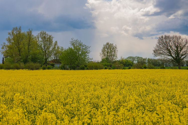 Flower Blossom Lighthouse Rapeseed Blossom RapeFlowers Rapeseed Field Cloud - Sky Spring Countryside Village Life Village Germany Yellow Plant Beauty In Nature Growth Agriculture Landscape Sky Field Land Scenics - Nature Tranquil Scene Oilseed Rape Rural Scene Tree Flowering Plant Farm Tranquility Environment No People Springtime
