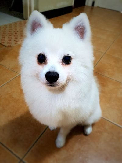 Looking At Camera Pets Portrait One Animal Animal Themes Dog Domestic Animals Close-up Puppy No People Mammal Indoors  Day Pomeranian Whitedog