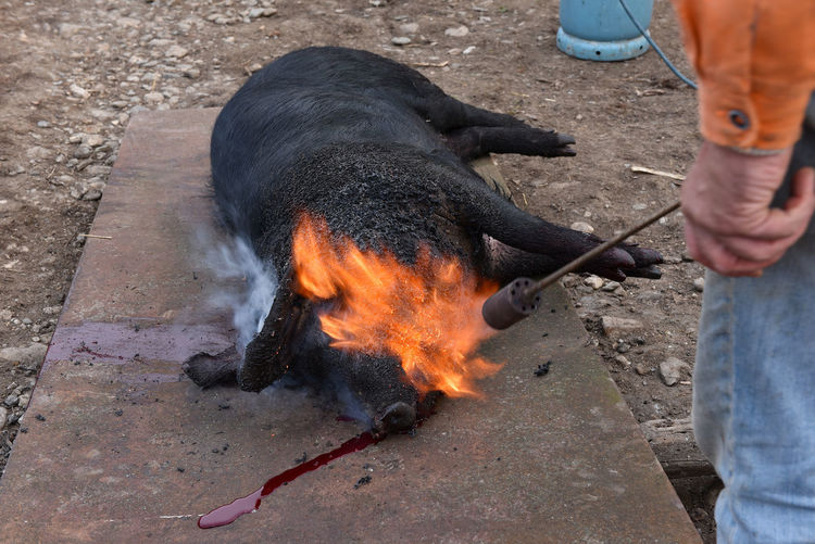 Midsection of butcher burning dead pig on metal