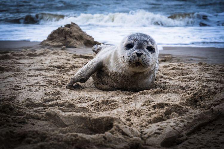 Seal on the north sea coast
