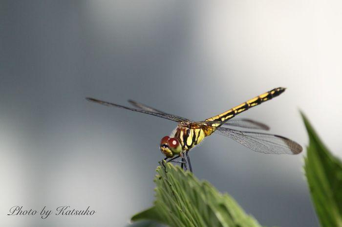 ⭐︎蜻蛉 ⭐︎Dragonfly 日本名 : ノシメトンボJapanese Name : Noshimetonbo Dragonfly 蜻蛉 トンボ Noshimetonbo Japan