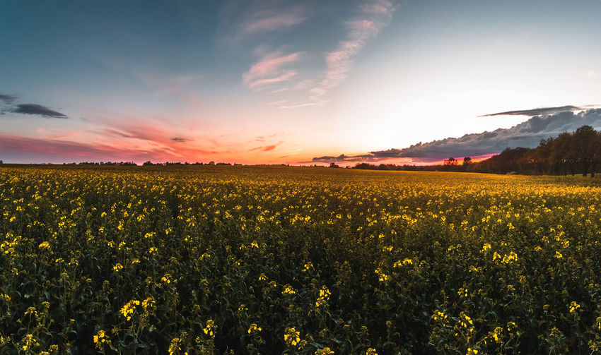 Beauty In Nature Sky Scenics - Nature Tranquil Scene Landscape Tranquility Field Environment Plant Land Sunset Flower Growth Yellow Flowering Plant Agriculture Rural Scene Nature Cloud - Sky No People Plantation