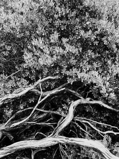 Manzanita Manzanita Nature Day Outdoors No People Tranquility Beauty In Nature Tree
