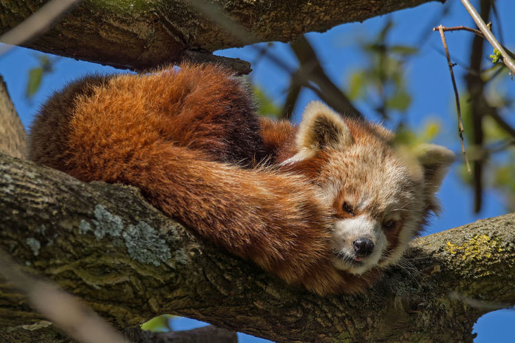 Alertness Animal Body Part Animal Head  Animal Themes Branch Brown Close-up Day Focus On Foreground Low Angle View Mammal Nature No People Outdoors Panda Part Of Red Panda Rodent Squirrel Tree Tree Trunk Whisker Wildlife