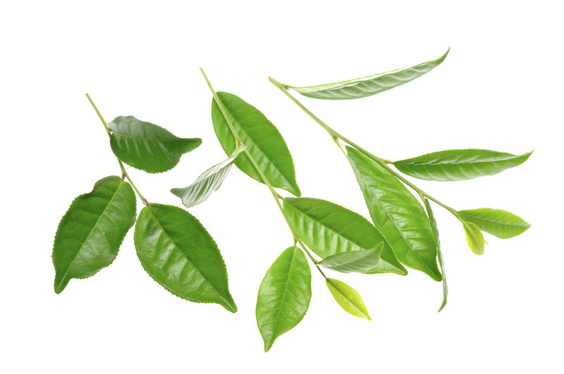 green tea leaf Plant Part Leaf White Background Green Color Studio Shot Plant Close-up Indoors  No People Cut Out Nature Herb Food And Drink Freshness Leaves Food Still Life Directly Above Beauty In Nature High Angle View Tea Leaves