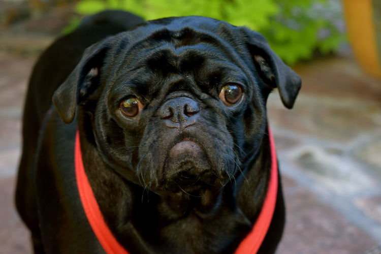 #pugs Animal Eye Animal Themes Black Color Black Dogs Black Pug Close-up Dog Domestic Animals Front View No People One Animal Pets Snout Pet Portraits
