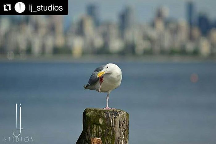 Repost @lj_studios Seagull wasn't really patient for Posing Today ...didn't find my Camera interesting Nikon Portrait Wildlife Ljstudios JustinDrewBieber