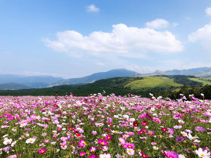 Pink flowering plants on field against sky