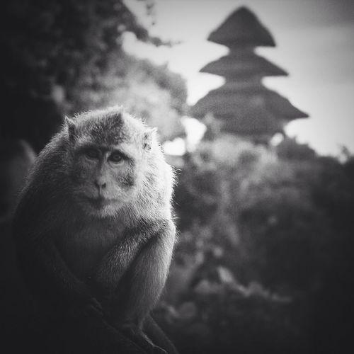 Monochrome Blackandwhite Travelling Monkey