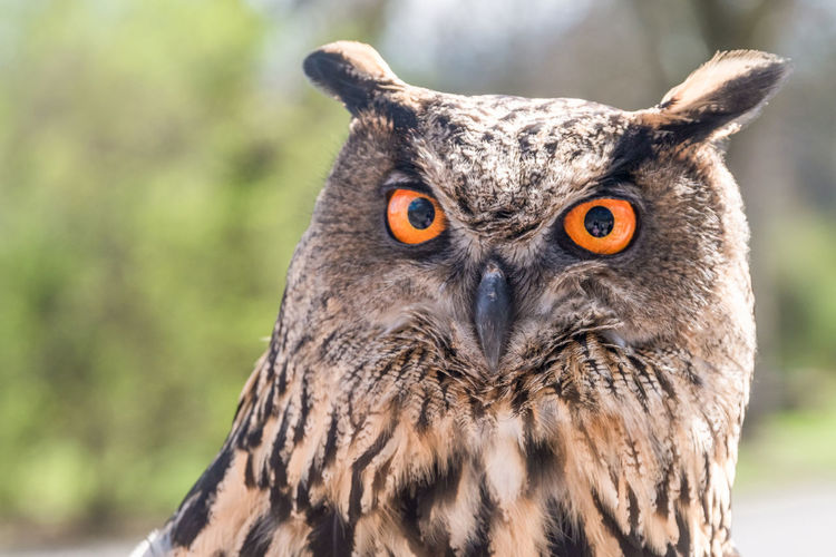 One Animal Animal Themes Animal Bird Animal Wildlife Animals In The Wild Focus On Foreground Owl Close-up Vertebrate Bird Of Prey Portrait Day Animal Body Part Looking At Camera No People Orange Color Eye Outdoors Animal Eye Beak Animal Head  Yellow Eyes Alertness Falconry