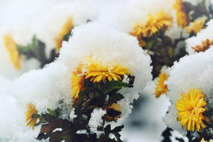 Plant Winter Snow Covered Snowfall Frozen Snow Cold Temperature Wintertime Weather Patterns In Nature Backgrounds Background Full Frame Frost Pattern Tranquility Flower In Snow Beauty In Nature Flower Head Flower Fragility Multi Colored Beauty In Nature Yellow Flower Yellow