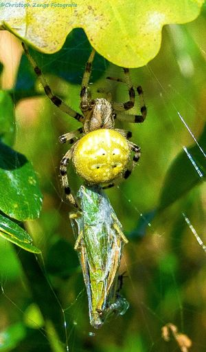 Spider with Dinner Close-up Plant Focus On Foreground Flower Nature Macro Westerwald Wirges Landschaft Green Nature Photography Incects Garden Spider Webs Spider Spinne Fängt Beute Spinne Natur