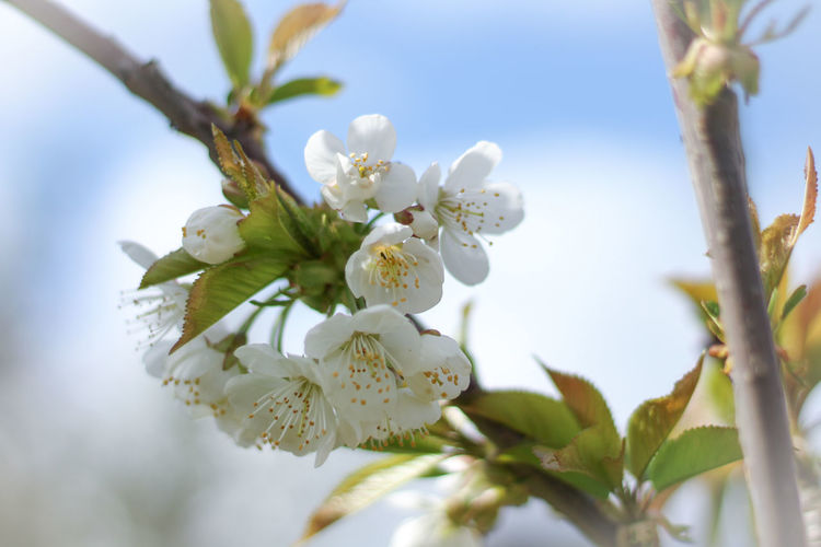 Blossom Wood EyeEm Best Shots 50mm Canon 1300d Canon Close-up Bokeh Colorful Color Colors Garden Flower Head Tree Flower Branch Springtime Leaf Blossom Olive White Color Almond Tree Cherry Blossom In Bloom Apple Tree Cherry Tree Botany Blooming Pollen Plant Life