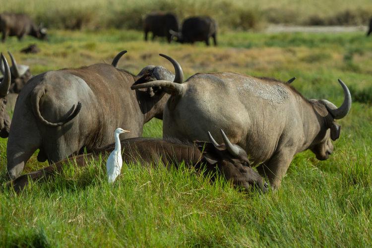 White bird with a herd of african buffalo in a field in the maasai mara in kenya