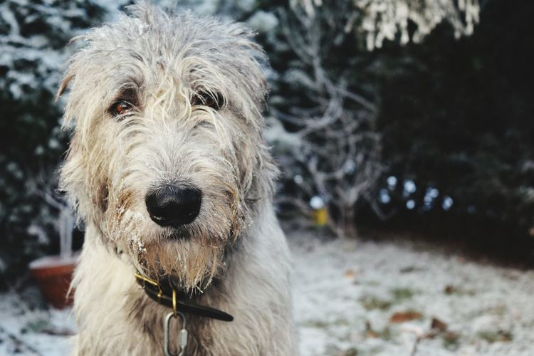 One Animal Animal Themes Looking At Camera Portrait Pets Dog Domestic Animals Cold Temperature Outdoors First Touch Of Winter Winter Is Coming... In My Garden It Is Cold Outside The Places ı've Been Today How's The Weather Today? Showcase December December 2016 How's The Weather Today Autumn 2016 Cearnaigh Irish Wolfhound Dogslife Dogs Of EyeEm Dog Of The Day