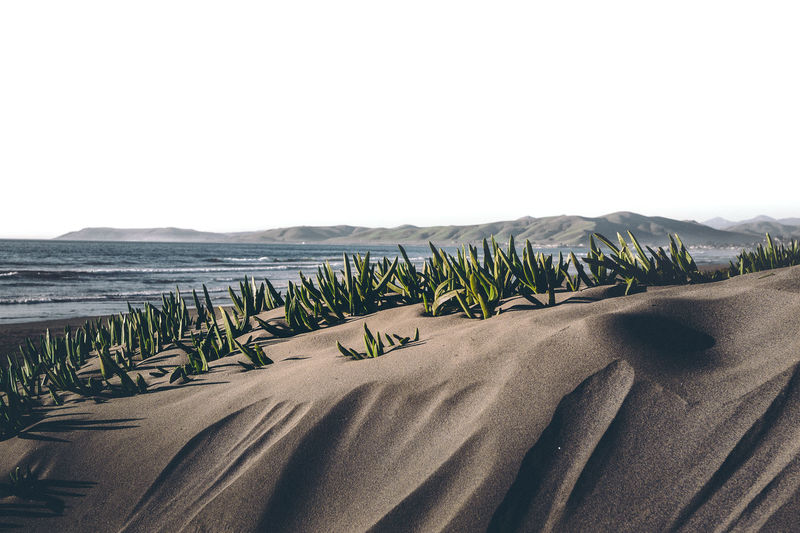 Beach Sand and Seashore Upclose of plants in their natural Seaside environment, enjoying a sunny day. 30mm/ƒ/9/1/200s/ISO 100 Beach Beauty In Nature Clear Sky Coastline Day Growth Nature No People Outdoors Palm Tree Sand Sand Dune Scenics Sea Tranquility Tree