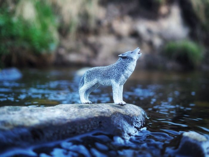 Today we met the wolf 🐺 - Toyphotography Toy Wolf Animal Themes One Animal Animals In The Wild Rock - Object Animal Wildlife Nature Mammal No People Outdoors Day Water