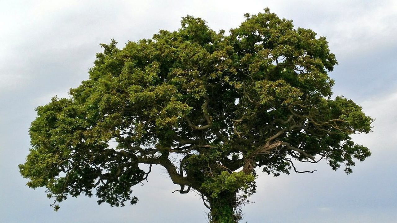 tree, sky, nature, low angle view, growth, green color, day, no people, branch, beauty in nature, leaf, outdoors