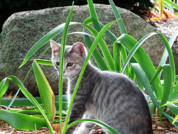 Alertness Animal Head  Animal Themes Close-up Day Feline Grass Green Color Growth Mammal Nature No People Outdoors Plant Portrait Relaxation Whisker You Cant See Me. I'm Hidden.