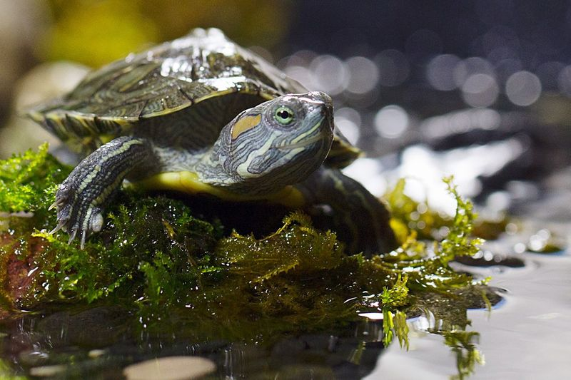 Close-up of turtle in pond