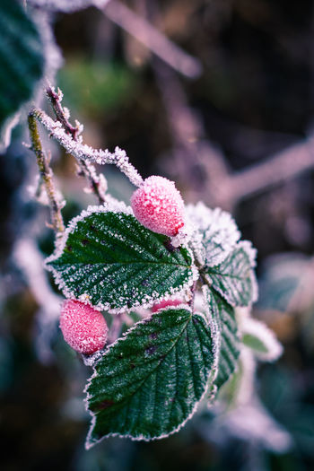 hagebutte Frozen GERMANY🇩🇪DEUTSCHERLAND@ Nature Nature Photography Winter Beauty In Nature Botanical Botany Cold Temperature Colorful Day Floral Flower Frozen Germany Murarfotografie Nature Nature_collection No People Outdoor Photography Outdoors Snow Sony Sony A6000 Winter