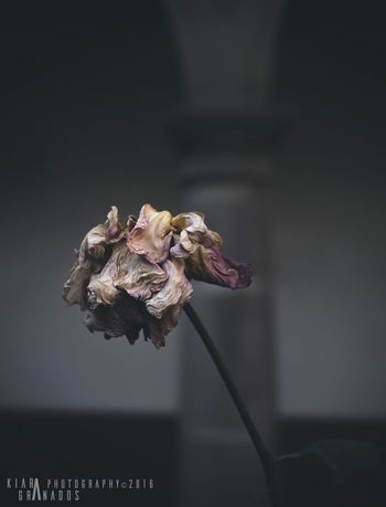 Flower Petal Fragility Wilted Beauty In Nature Flower Head Close-up Nature No People Wilted Plant Decline Growth Freshness Day Indoors