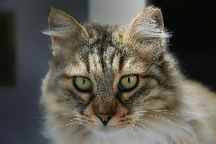 Animal Themes Close-up Day Domestic Cat Looking At Camera One Animal Pets Portrait Yellow Eyes