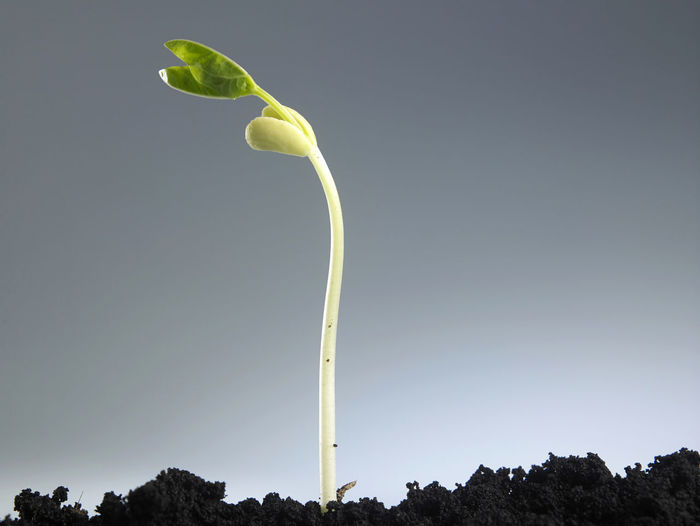 Growing plant in soil isolated on gray background. Agriculture Green Growing Growth Life Nature New Origins Plant Plant Part Sapling Seed Bean Beginnings Development Dirt Growth Process Leaf Macro Progress Root Seedling Small Soil Sowing