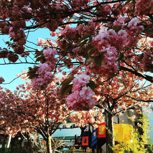 Tree Flower Blossom Growth Pink Color Beauty In Nature Fragility Branch Nature Springtime No People Freshness Day Low Angle View Outdoors Blooming Architecture Flower Head Sky