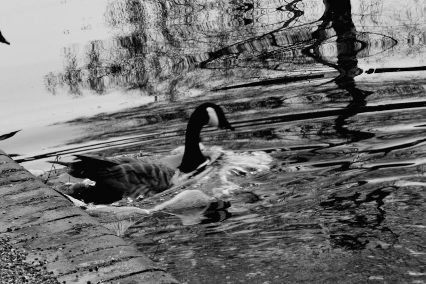 Black And White Photography Black And White Bnw_life Canadian Geese Goose Birds_collection Bird Photography Canal Walks Birmingham Canals Water Reflections Water_collection Wildlife & Nature Wildlife Photography EyeEm Nature Lover