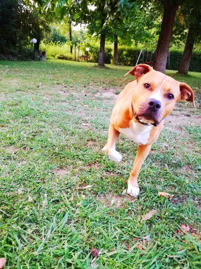 Dog Pets Domestic Animals One Animal Animal Themes Outdoors Day Nature Tree Pitbull Pitbull Puppy Mylove