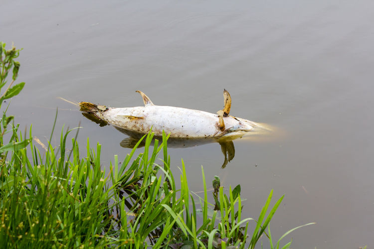 Northern Pike Animal Animal Themes Animal Wildlife Animals In The Wild Dead Environment Fish Green Color High Angle View Lake Marine Nature No People One Animal Outdoors Plant Pollution Water