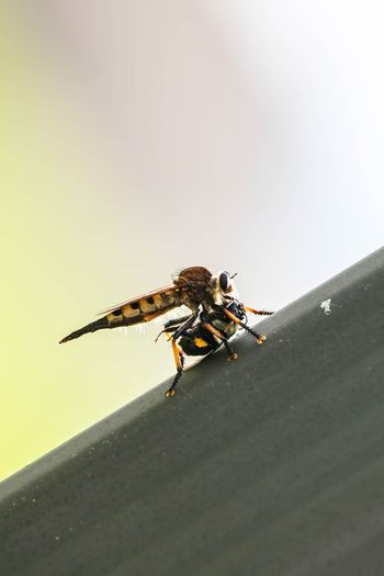 Hornet Killing Insect Animal Themes Animals In The Wild One Animal Animal Wildlife Day No People Outdoors Close-up Nature Bee Backyard Bluffton Sc, Bug Beauty In Nature Black And Yellow  The Week On EyeEm