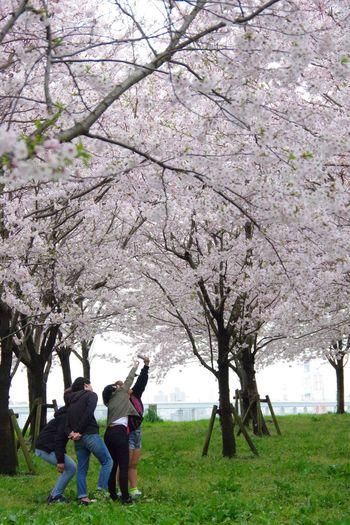 春 桜 Cherry Tree Springtime Pentax K-3