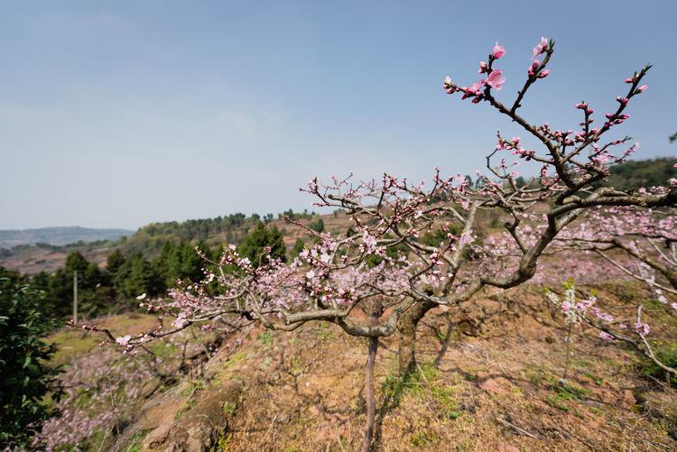 peach tree flower in Longquanyi , Chengdu